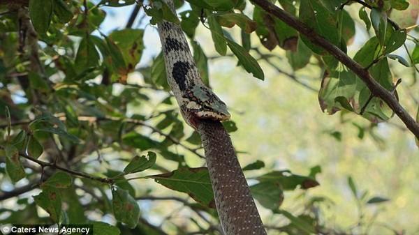 kígyóáldozat4