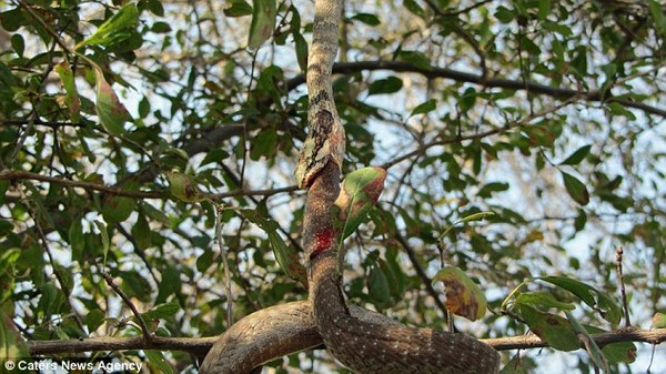 kígyóáldozat5