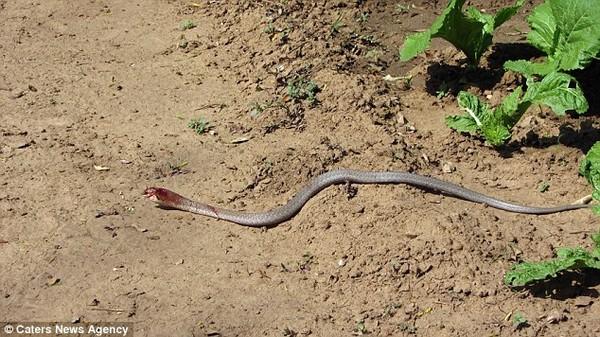 kígyóáldozat7