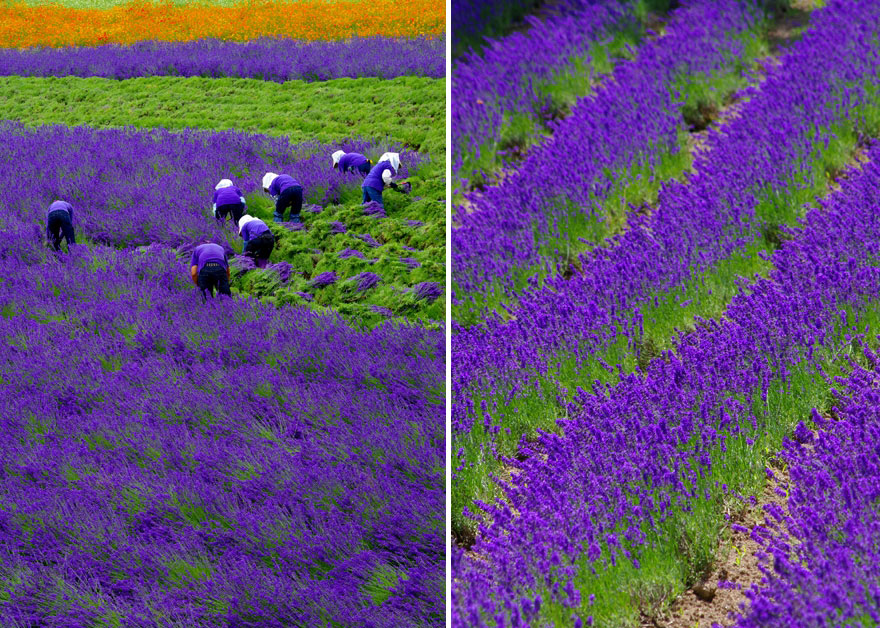 lavender-fields-harvesting-2