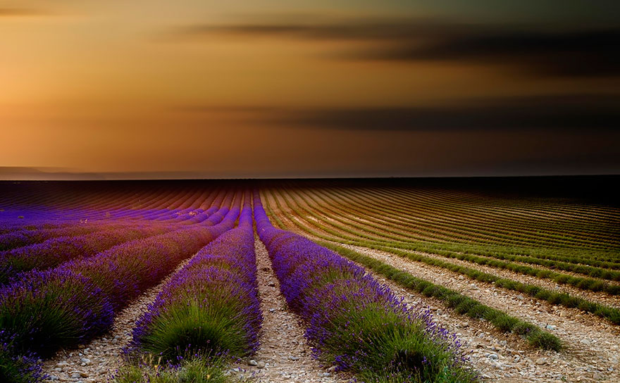 lavender-fields-harvesting-71