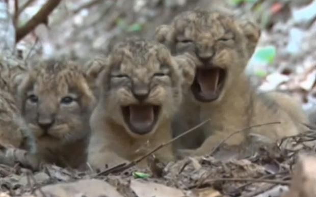 lion-cubs_3380574b