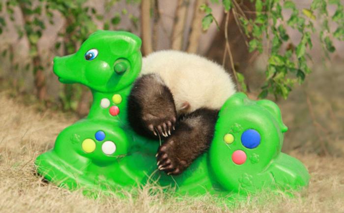 panda-daycare-nursery-chengdu-research-base-breeding-21