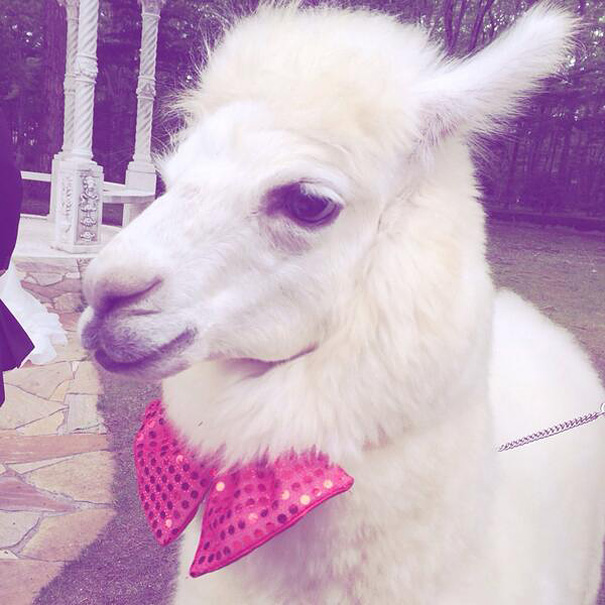 wedding-alpaca-witness-Epinard-Nasu-japan-6