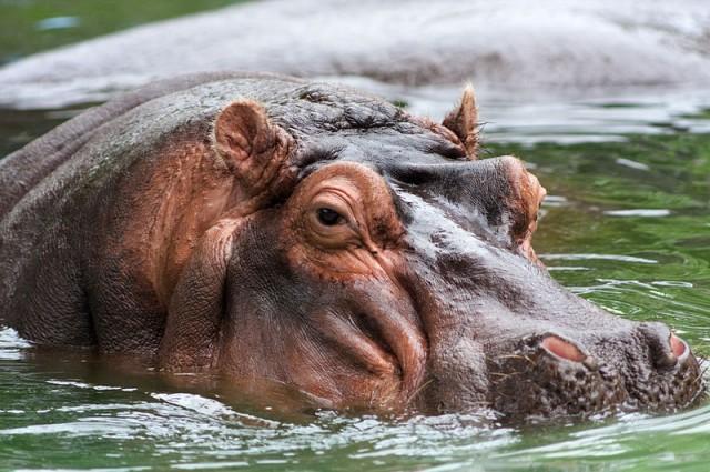 800px-Hippo_memphis