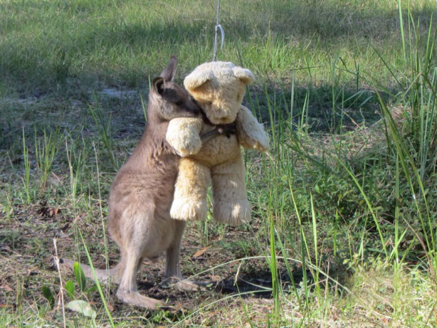 asp_620_orphaned-kangaroo-teddy-bear-1