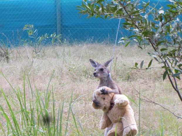 asp_620_orphaned-kangaroo-teddy-bear-2