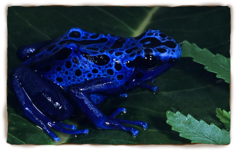 blue_dart_poison_frog1_0