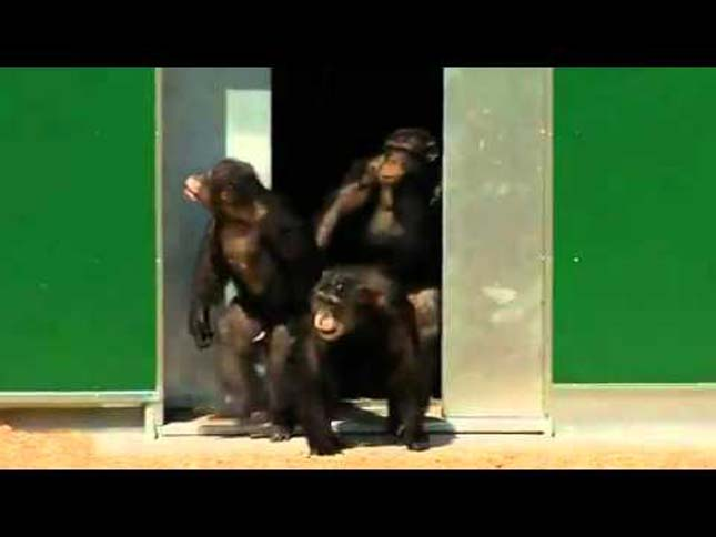 csimpanzok-10