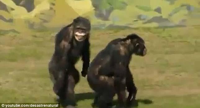 csimpanzok-3