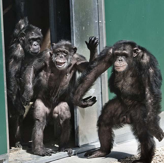 csimpanzok-5