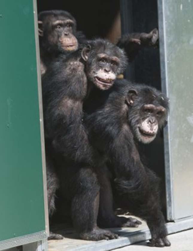 csimpanzok-6