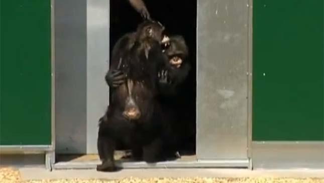 csimpanzok-8