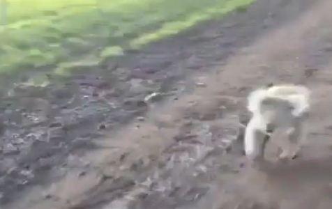 koala-chase