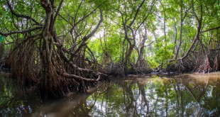 Sri Lanka-is mangrove erdő
