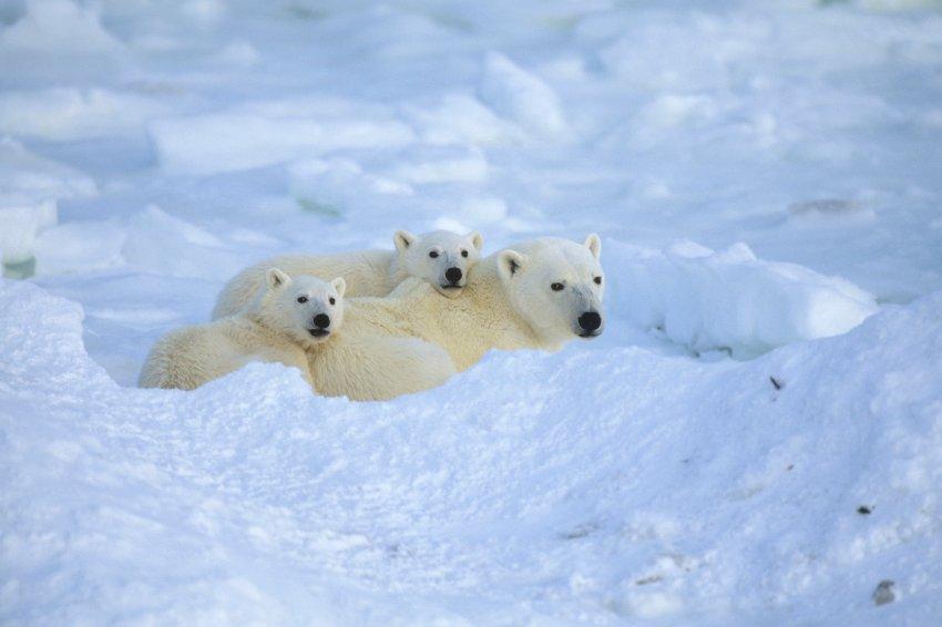 Polar Bear Family Resting Cape Churchill Manitoba Canada Winter Portrait