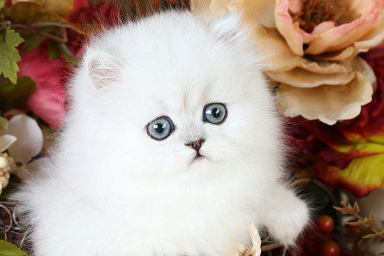 Toy-Persian-Kittens