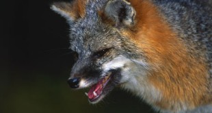 Gray fox with open mouth