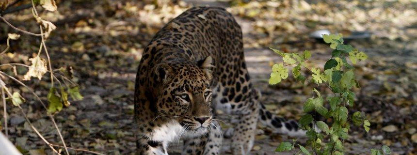 epa03464667 A leopard is seen at the Dachigam National Park, outside Srinagar City, the summer capital of Indian Kashmir, 09 November 2012.<div class='article-ad'><script async src=