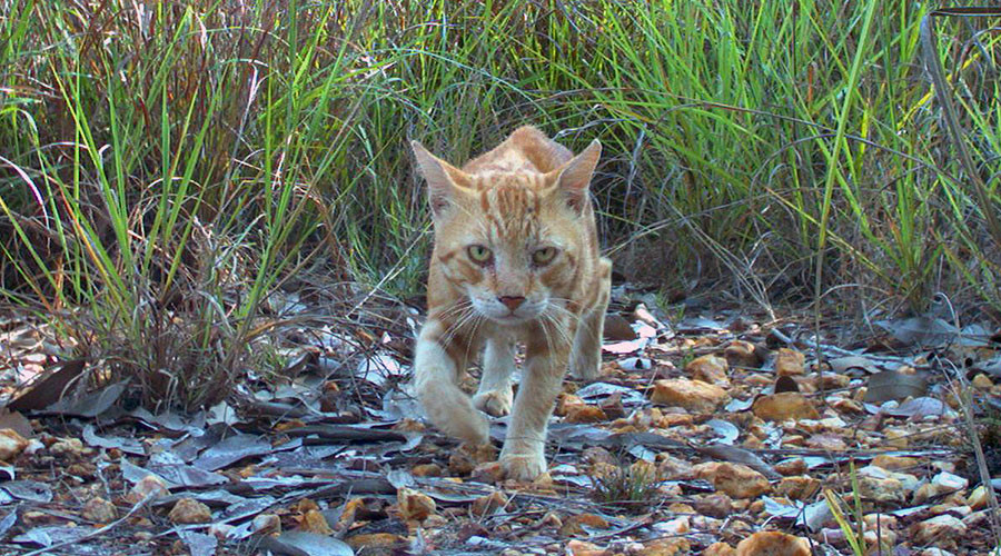 "This handout picture taken by a camera trap in November 2010 and release by Charles Darwin University on June 4, 2014 shows a feral cat in the northern territory of Australia. An Australian study has blamed feral cats for the extinction of native mammals and warns 100 species are under threat from the creatures that inhabited the homes of early British settlers. ----EDITORS NOTE ----RESTRICTED TO EDITORIAL USE MANDATORY CREDIT "" AFP PHOTO / CHARLES DARWIN UNIVERSITY / HO"" NO MARKETING NO ADVERTISING CAMPAIGNS - DISTRIBUTED AS A SERVICE TO CLIENTS"
