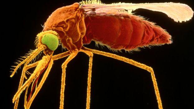 _86227753_z3410211-female_specimen_of_mosquito,_sem-spl