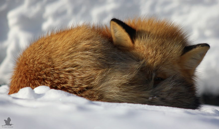 Remember-that-time-3-foxes-moved-into-my-backyard1__880