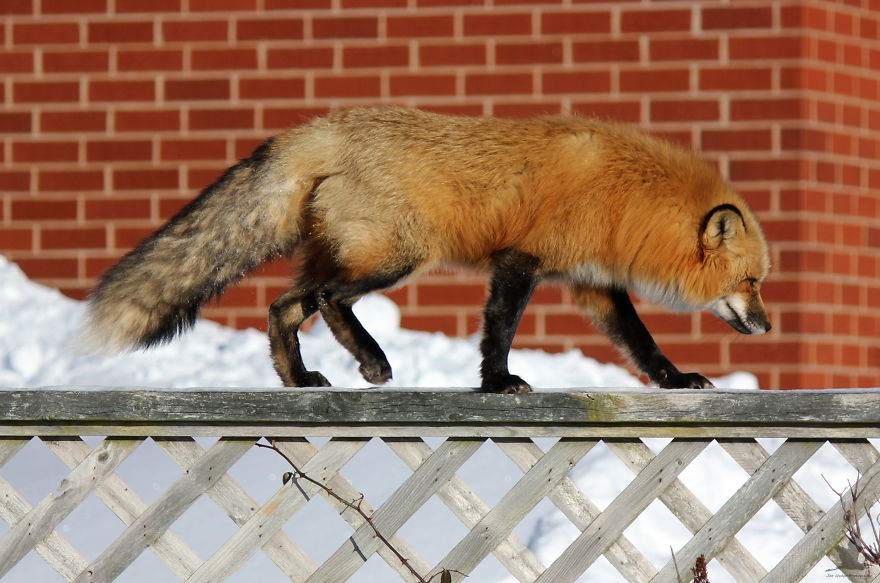 Remember-that-time-3-foxes-moved-into-my-backyard2__880