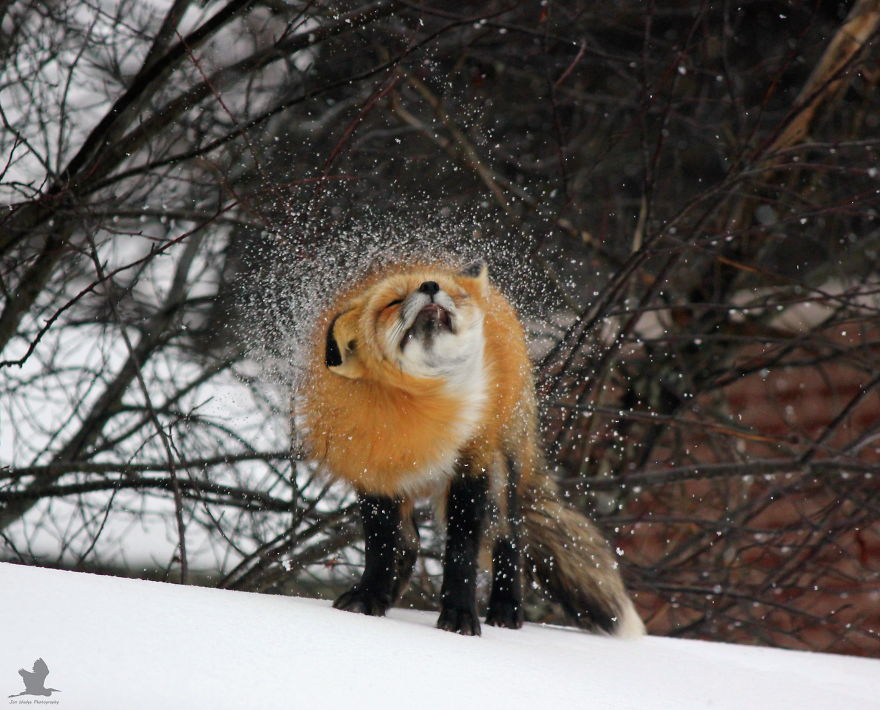 Remember-that-time-3-foxes-moved-into-my-backyard3__880