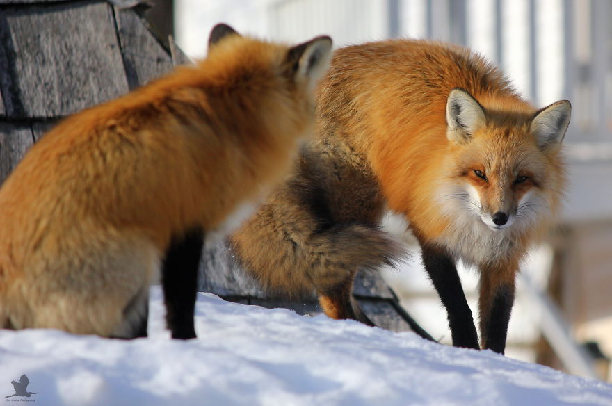 Remember-that-time-3-foxes-moved-into-my-backyard4__880