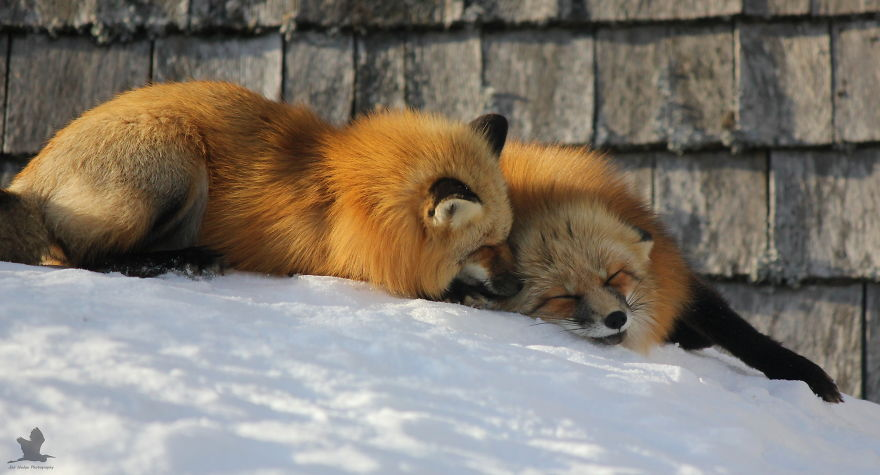 Remember-that-time-3-foxes-moved-into-my-backyard6__880