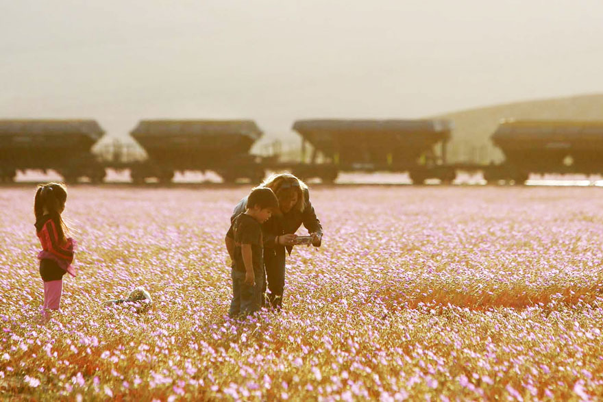 atacama-flowers-bloom-worlds-driest-desert-14