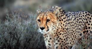 gepard3