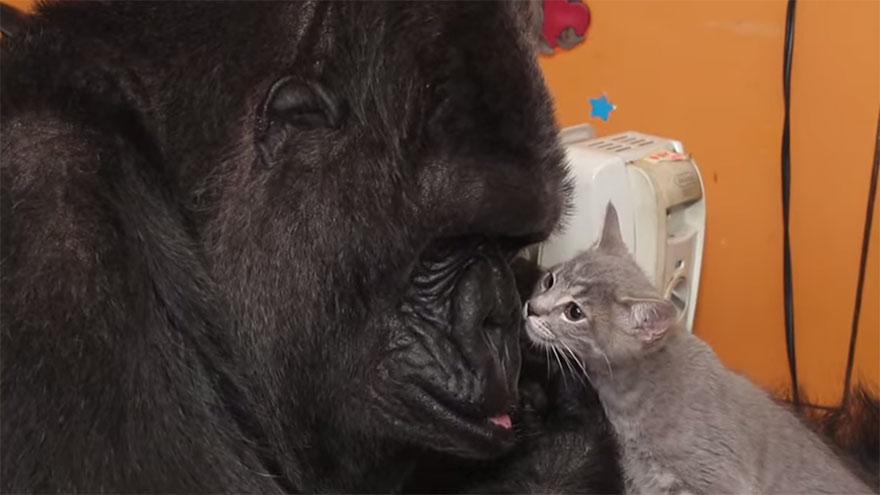 koko-gorilla-birthday-kittens-california-5