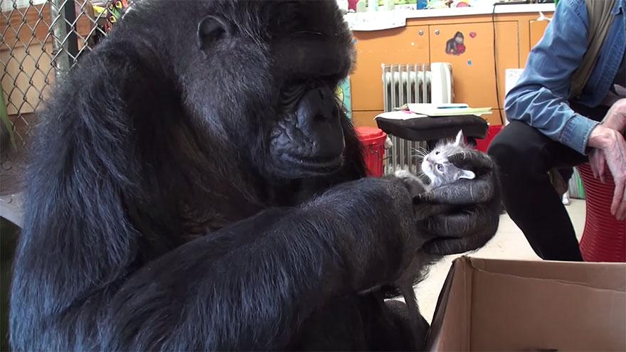 koko-gorilla-birthday-kittens-california-6