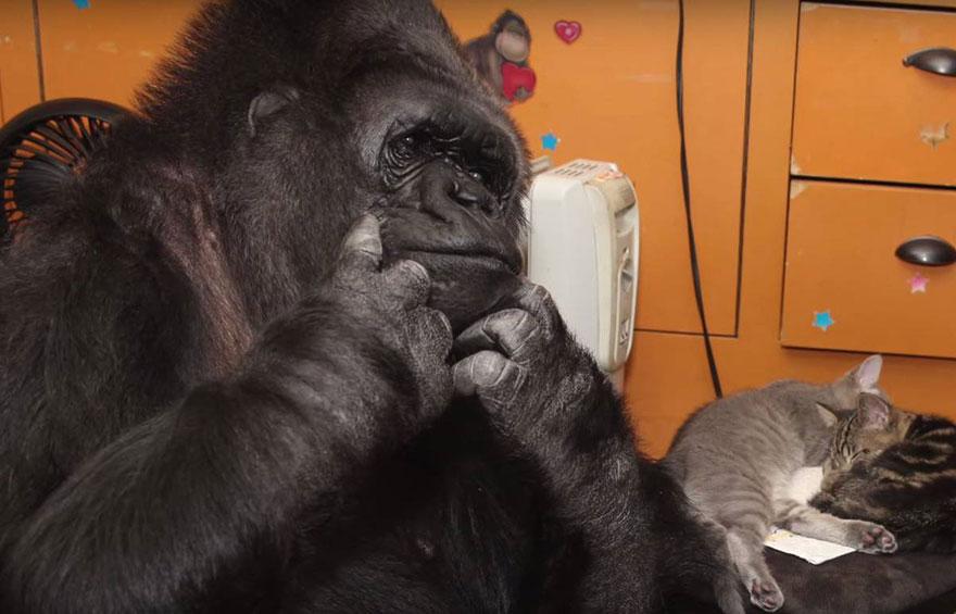 koko-gorilla-birthday-kittens-california-7