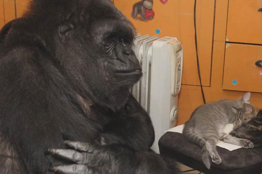 koko-gorilla-birthday-kittens-california-8