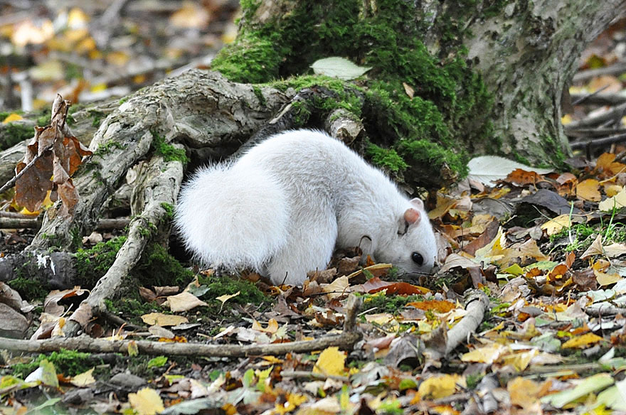 rare-white-squirrel-photo-andrew-fulton-marbury-country-park-uk-7