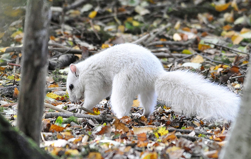 rare-white-squirrel-photo-andrew-fulton-marbury-country-park-uk-8