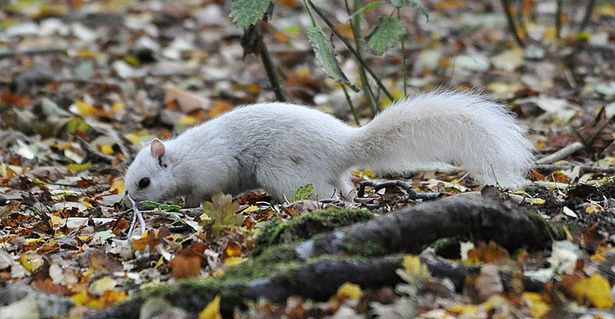 rare-white-squirrel-photo-andrew-fulton-marbury-country-park-uk-9