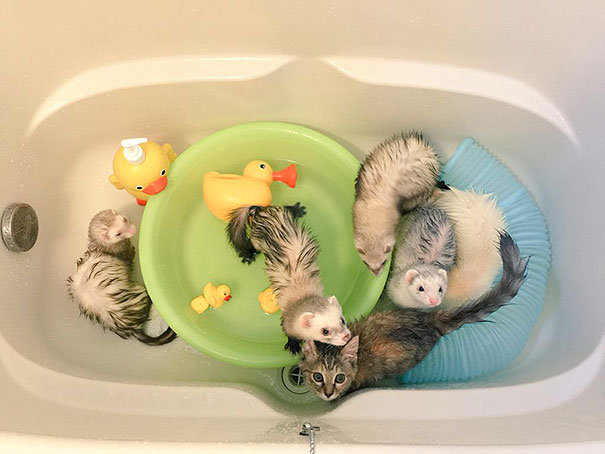 rescue-kitten-komari-ferret-brothers-44