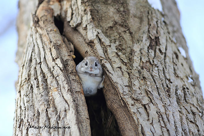 siberian-japanese-dwarf-flying-squirrel-15