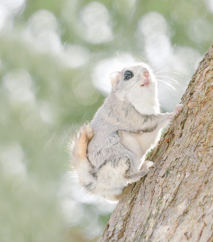 siberian-japanese-dwarf-flying-squirrel-5