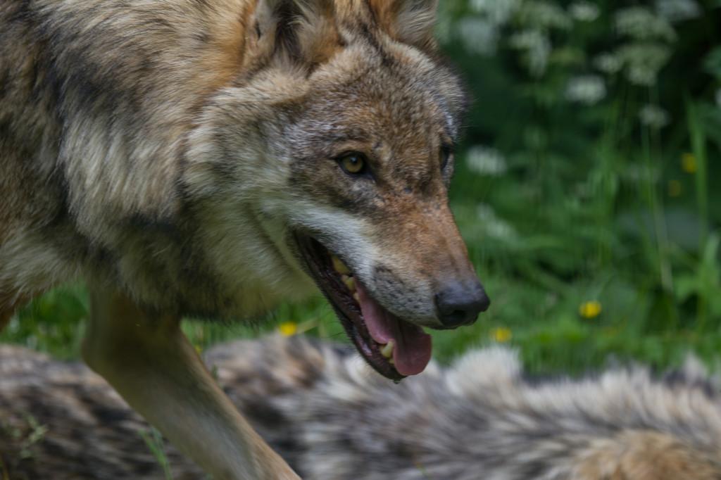 two european grey wolf