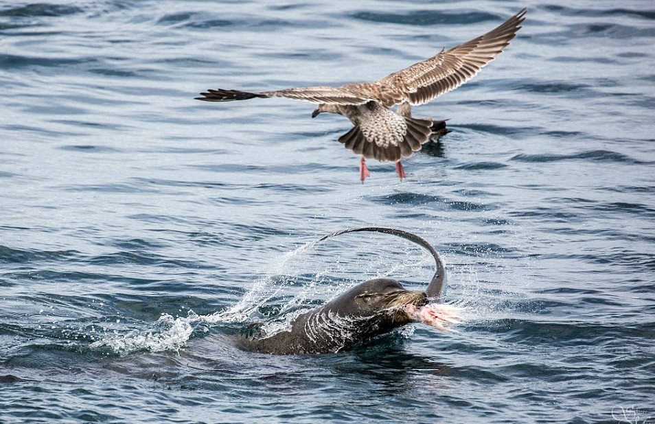 2E1601D700000578-3302989-Busy_A_bird_of_prey_is_seen_flying_over_the_water_as_the_sea_lio-a-116_1446613477627