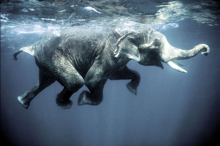 36288_elephant_swimming