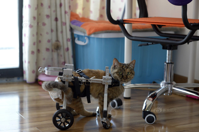 cat_wheelchair6