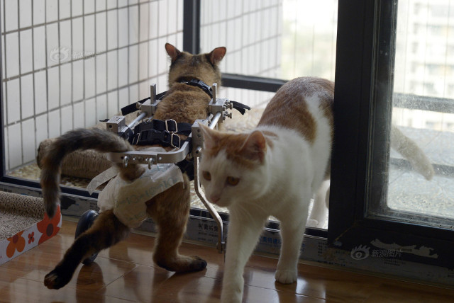 cat_wheelchair7
