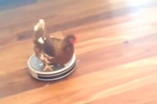 csirkeporszívó1