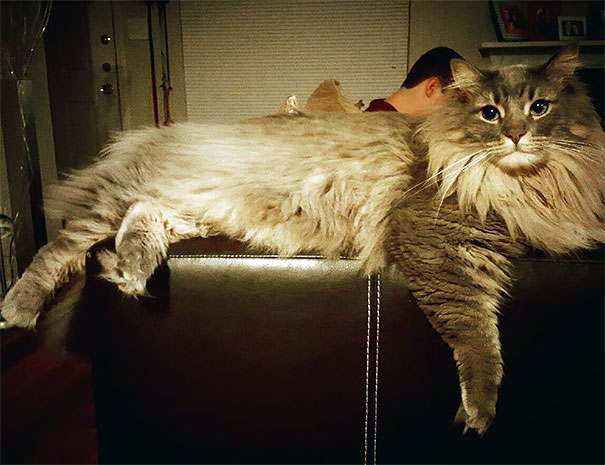 maine-coon-cats-25__605