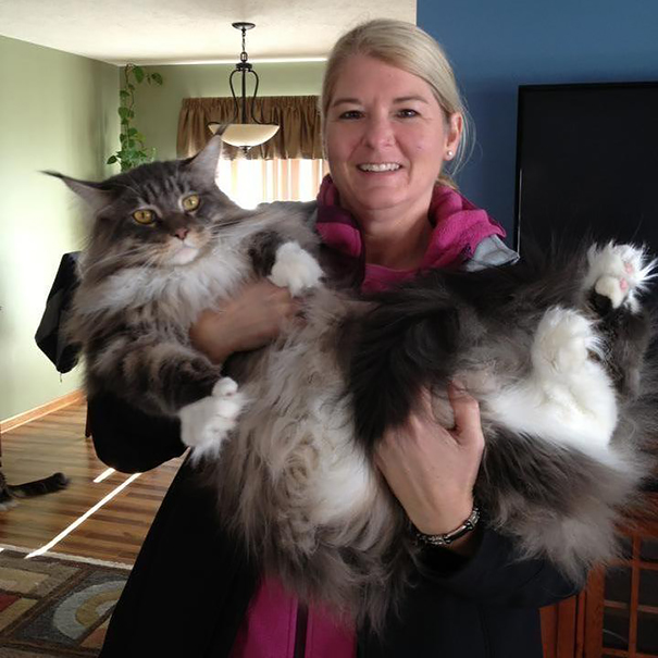 maine-coon-cats-36__605